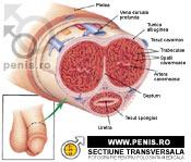 forma și numele penisului